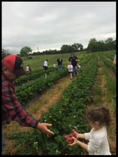 Picking Strawberries on an educational school field trip!