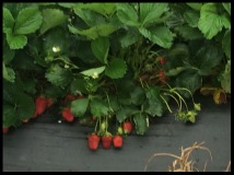 Strawberries U-pick on raised beds