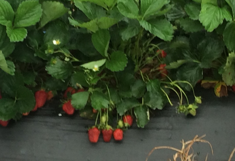 Raised bed Strawberries