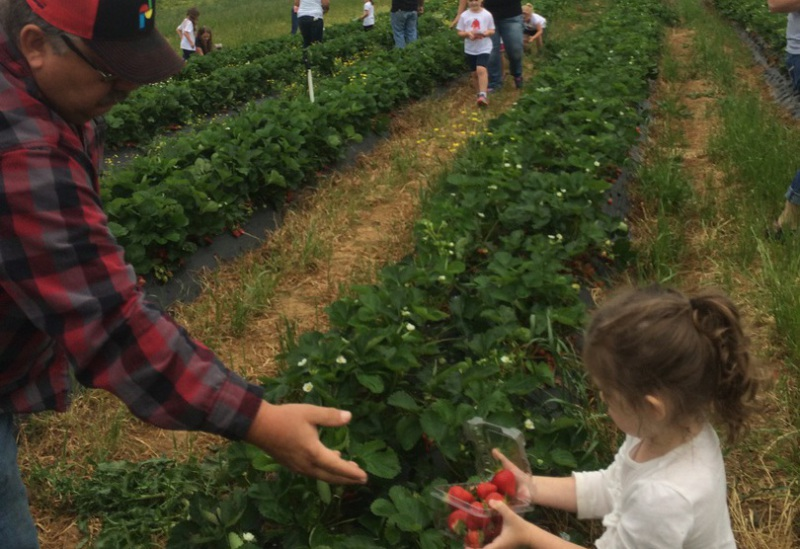 Strawberry picking for all ages