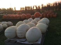 Pumpkins, corn stalks, hay bales, gourds, and ornamentals.