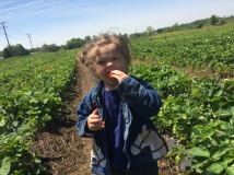 Strawberry picking Education Field Trip in  Tennessee